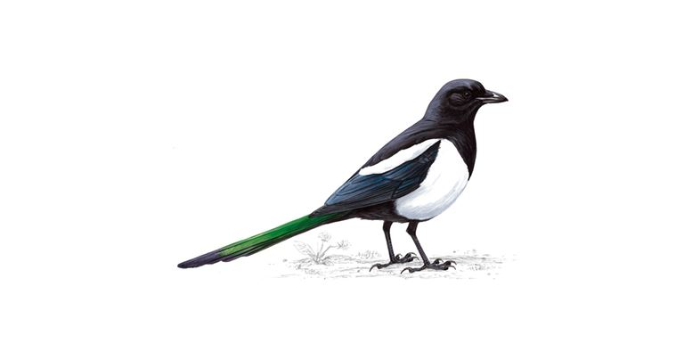 1. The Magpie