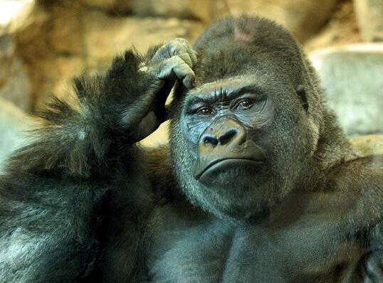 5. Why Gorillas have a large brain
